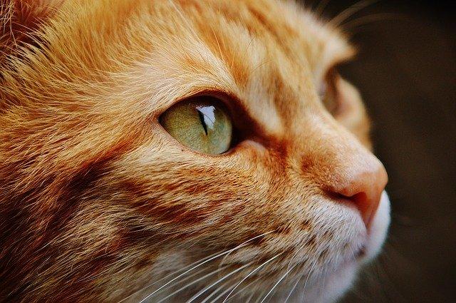 Zadbany rudy kot