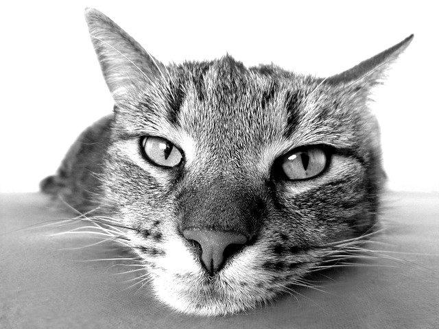 Czarno białe zdjęcie kota